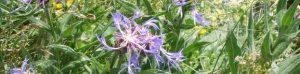 p130-centaurea-c-623-x-153